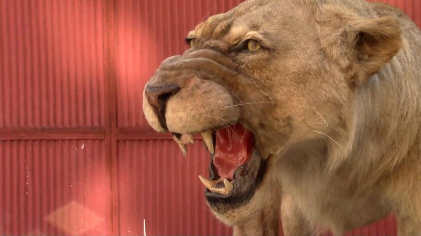 Откриха препариран лъв без документи в Разград, проверяват дали е от зоокъта /ВИДЕО/